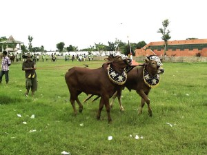 Bull Races from Madura Island